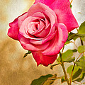MaryJane Armstrong - A Classic Pink Rose
