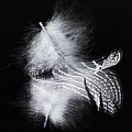 Zoe Ferrie - A Feather and its...