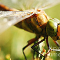 HJBH Photography - A Green-eyed Hawker