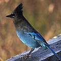 Stanza Widen - A Stellers Jay on the...
