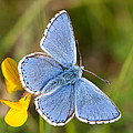 Mark Monckton - Adonis Blue Butterfly