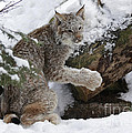 Inspired Nature Photography By Shelley Myke - Adorable Baby Lynx in a...