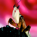 Leslie Crotty - Adult Orchid Male Mantis