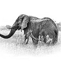 Sharon Bishop - African elephant