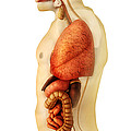 Anatomy Of Human Body Showing Whole by Stocktrek Images