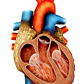 Anatomy Of Human Heart, Cross Section by Stocktrek Images