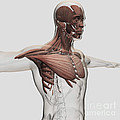 Anatomy Of Male Muscles In Upper Body by Stocktrek Images
