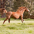 Michelle Wrighton - Arabian Horse Running...