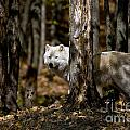 World Wildlife Photography - Arctic Wolf Picture 242