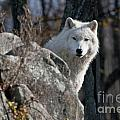 World Wildlife Photography - Arctic Wolf Pictures 734
