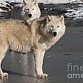 World Wildlife Photography - Arctic Wolf Pictures 812