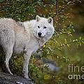 World Wildlife Photography - Arctic Wolf Pictures 922