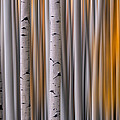 Mike Berenson - Aspen Gold Abstract