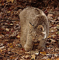 Inspired Nature Photography By Shelley Myke - Baby Canada Lynx in an...