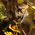 Inspired Nature Photography By Shelley Myke - Baby Cougar Watching You