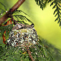 Peggy Collins - Baby Hummingbirds in a...