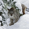 Inspired Nature Photography By Shelley Myke - Baby Lynx Hiding in a...