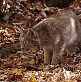 Inspired Nature Photography By Shelley Myke - Baby Lynx Hunting in an...