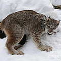 Inspired Nature Photography By Shelley Myke - Baby Lynx Staying Close...