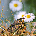 Peggy Collins - Baby Robin and Daisies