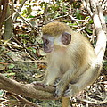 Diane Palmer - Barbados Green Monkey