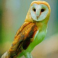 Bruce Nutting - Barn Owl