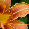 Gene Walls - Beautiful Daylily