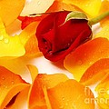 Beautiful Roses Valentine by Boon Mee