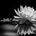 Sabrina L Ryan - Beautiful Water Lily...