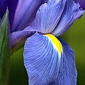 Joy Watson - Beauty of Iris