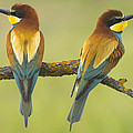 Guido Montanes Castillo - Bee-eaters Couple