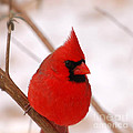 Peggy  Franz - Big Red  Cardinal Bird...