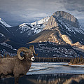 Randall Nyhof - Bighorn in the Mountains...