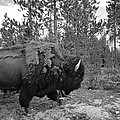Dan Sproul - Black And White Bison In...