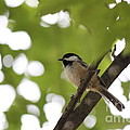 Jennifer Doll - Black-capped Chickadee