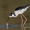 Bryan Keil - Black necked stilt with...