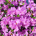 Luther   Fine Art - Blooming Pink Azaleas