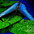 Thomas Woolworth - Blue Butterfly 03