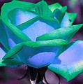 Bruce Nutting - Blue Green Rose