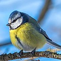Rose-Maries Pictures - Blue Tit
