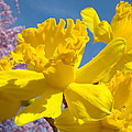 Baslee Troutman Spring Art Prints - Bright Yellow Daffodils...