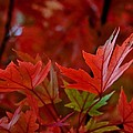 Brilliant Red Maples by Linda Unger