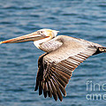 Darleen Stry - Brown Pelican Flying