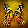 Mike Savad - Butterfly - Butterfly of...