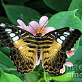 Shari Nees - Butterfly in Pink