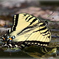 Travis Truelove - Butterfly - Swallowtail