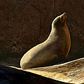 Nikolyn McDonald - California Sea Lion...