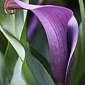 Rona Black - Calla Lily in Purple...
