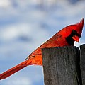 Davandra Cribbie - Cardinal in Winter