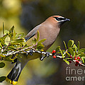 Kathy Baccari - Cedar Waxwing And Red...